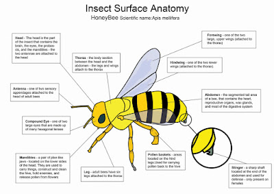honey bee diagram