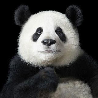 Foto de panda con expresión humana