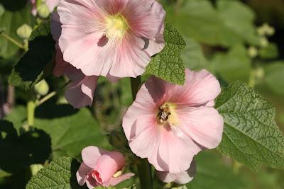 tarhasalkoruusu, Alcea rosea