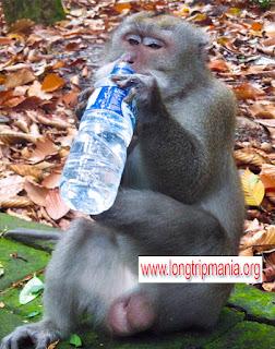 Monyet di Sangeh Badung Bali