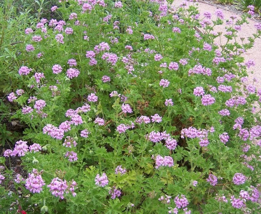 The 2 Minute Gardener Photo Rose Scented Geranium Pelargonium