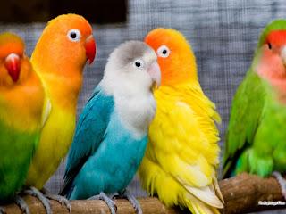 صور طائر الببغاء ملون في غاية الروعة Birds+-+%D8%B9%D8%B5%D9%81%D9%88%D8%B1+%D8%A8%D8%A8%D8%BA%D8%A7%D8%A1