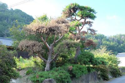 長野県生坂村の古民家カフェ ひとつ石 松枯れしている立派な松の木