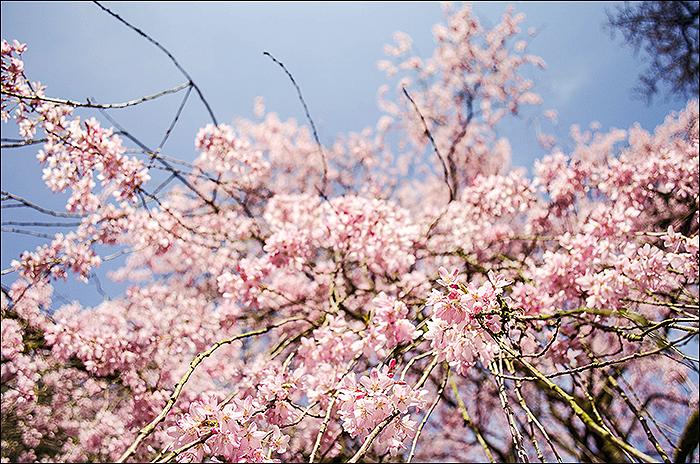 Rombergpark - Fotografie - Frühling - Makro - Kirschblüte