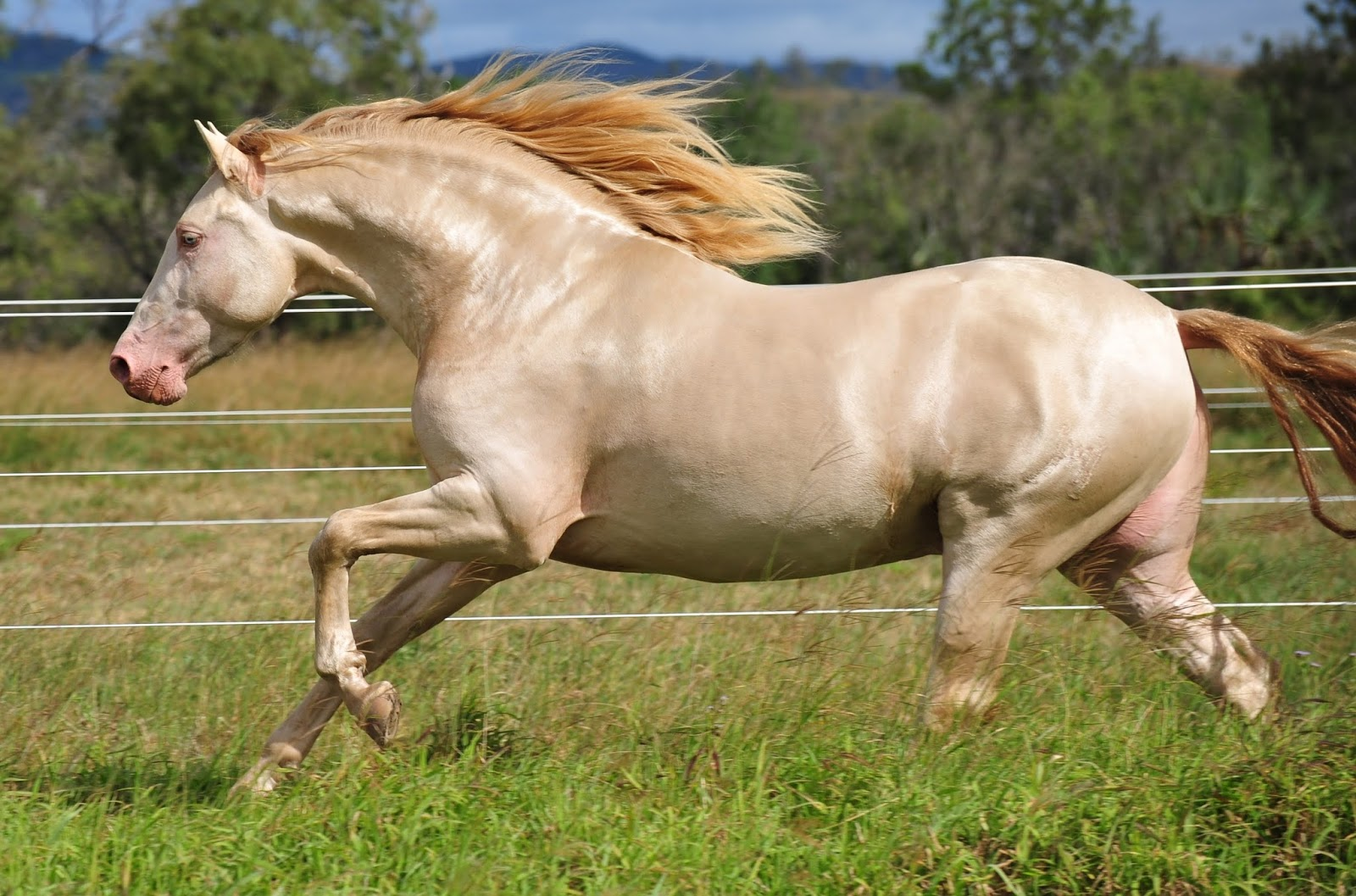Akhalteke - the most beautiful horse in the world 61