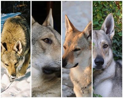 Sulle Orme Del Lupo I Nostri Stage Conoscere Il Cane Lupo
