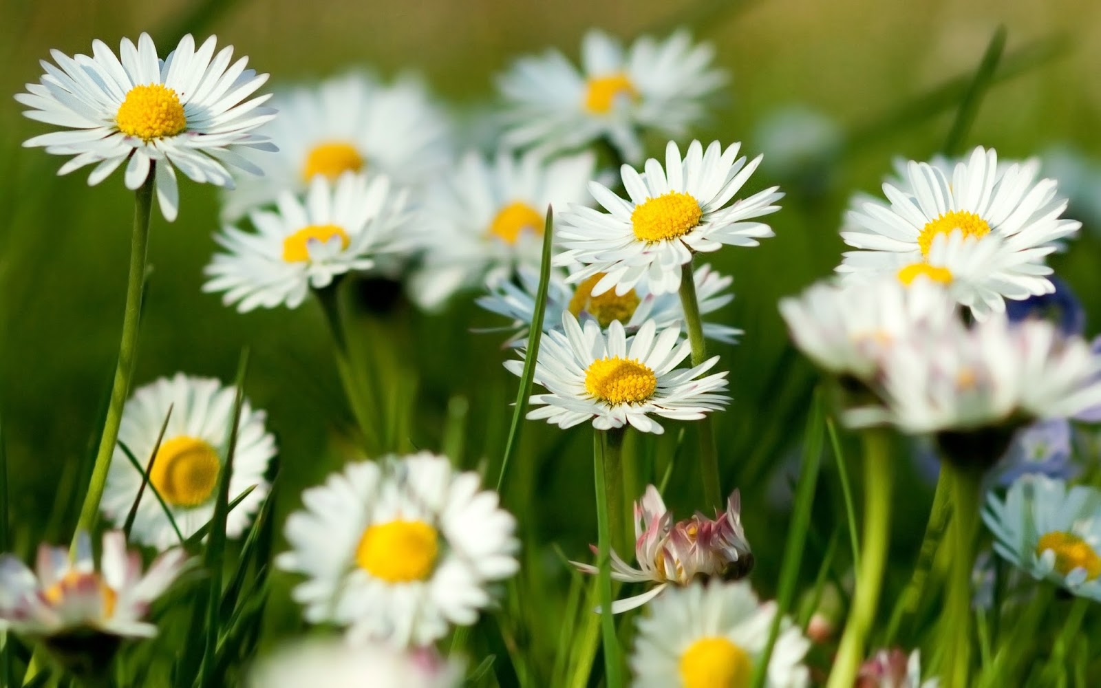 Kết quả hình ảnh cho Hoa chamomile