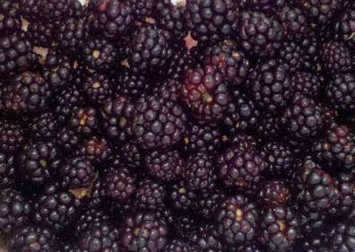 drying blackberries, how to preserve your blackberry harvest, dehydrating blackberries,