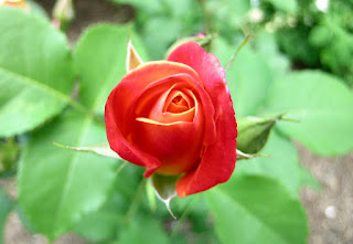 smallish red rose from spiritualmechanicsofdiabetes blog by Lisa B