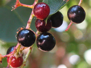 chokecherry fruit images