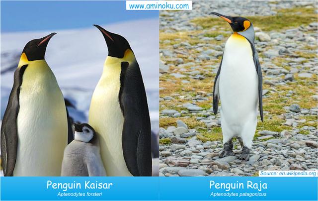 Perbedaan penguin kaisar dan penguin raja