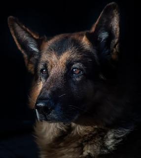 How Much Is a German Shepherd
