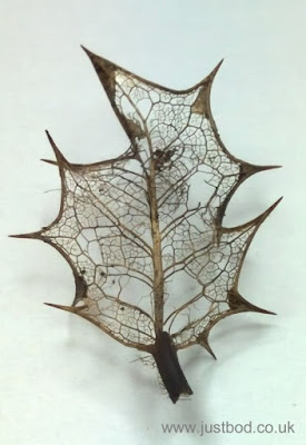 Holly Leaf Skeleton