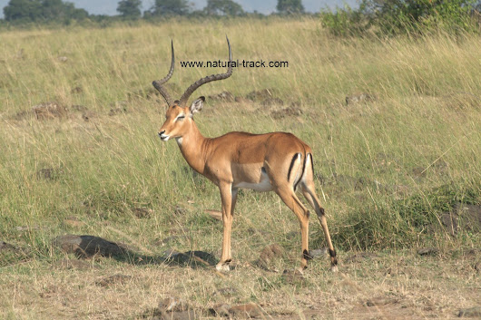 The grant's gazelle