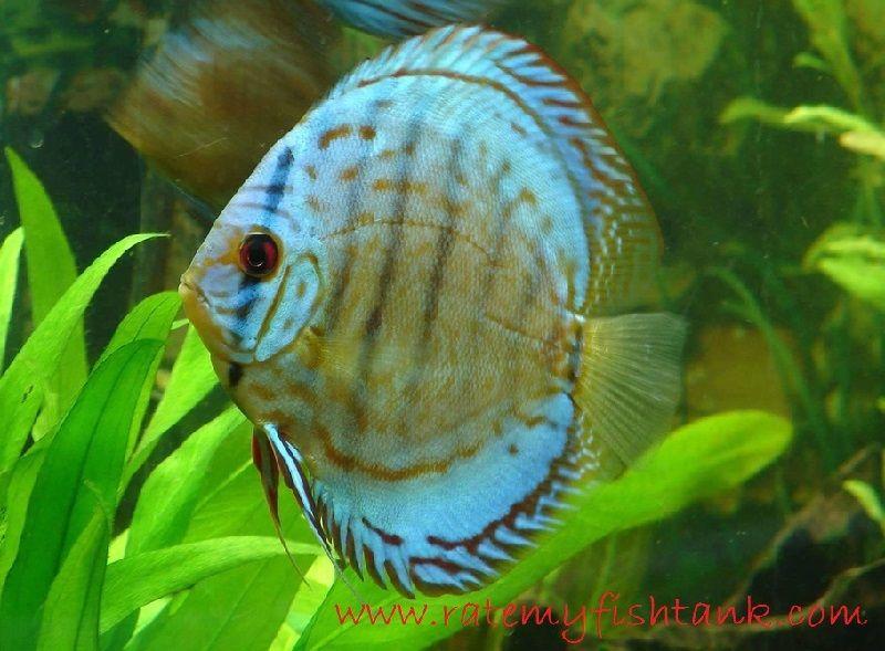 Ikan Aquascape yang Kuat - Discus