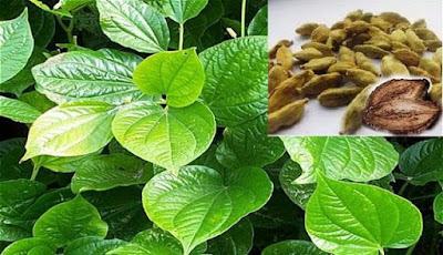 10 Herb Benefits Of Merremia Mammosa