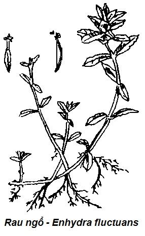 Hình vẽ Rau Ngổ-Enydra fluctuans-Nguyên liệu làm thuốc Cầm Máu