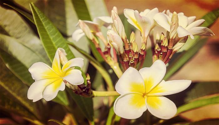Plumeria planta