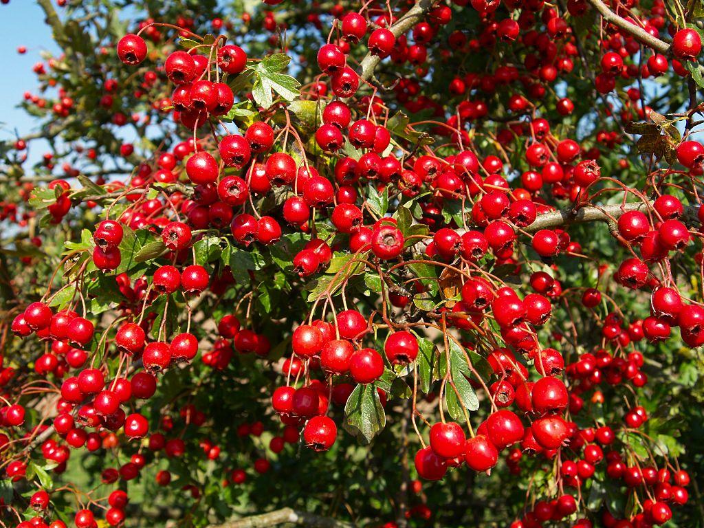 Alıç meyvesi nasıl kullanılmalıdır