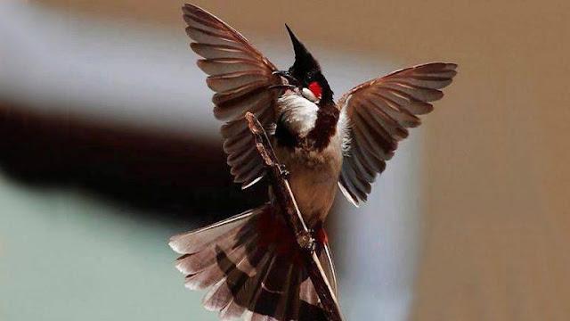 Cách chăm sóc chim chào mào thay lông