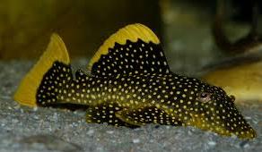 sapu Ikan Hias Air Tawar Yang Bisa Dicampur Pada Satu Akuarium