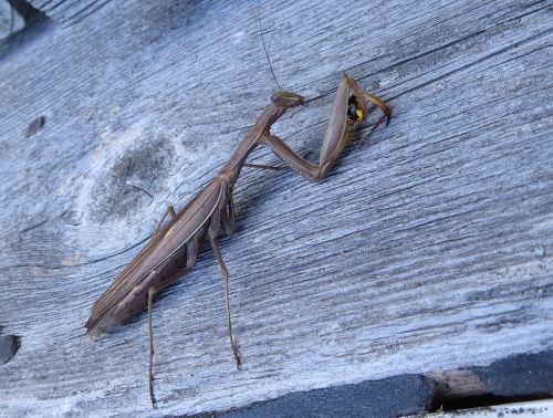 German Yellowjacket wasp being eaten by a praying mantis