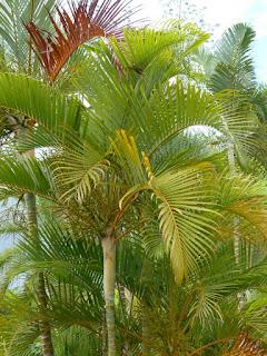 Palmier multipliant - Palmier d'arec - Aréquier - Palmier à canne jaune - Palmiste multipliant - Dypsis lutescens