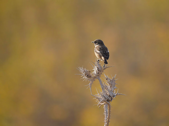 Stonechat on Thorns