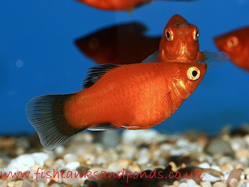 Gambar Dan Foto Ikan Hias Platy Profil Cara Merawatnya