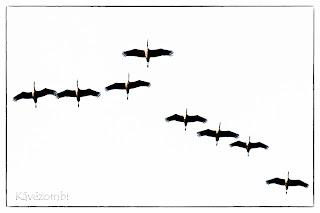 Darucsapat alakzatban repül fehér háttér előtt