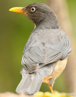 Plumbeous-backed Thrush