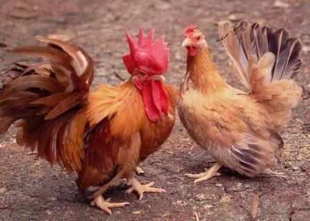 ayam-kate