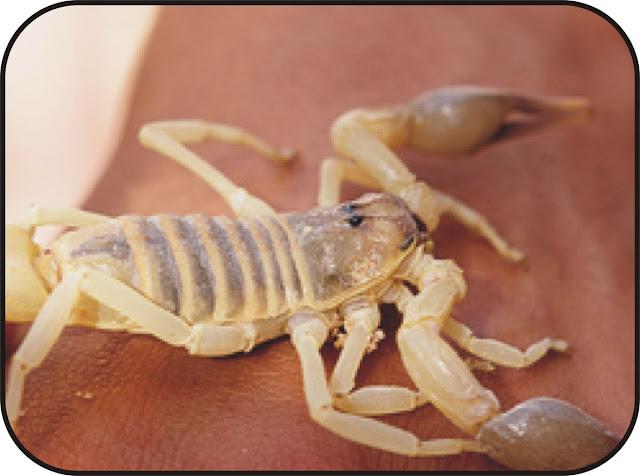 Stowaway scorpion
