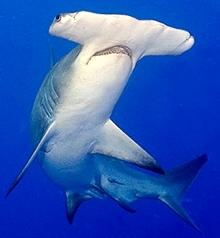 Foto de tiburón Martillo nadando dentro del mar