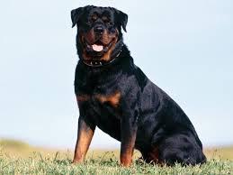 Perro raza Rottweiler