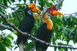 Burung Rangkok Sulawesi Yang Terancam Punah