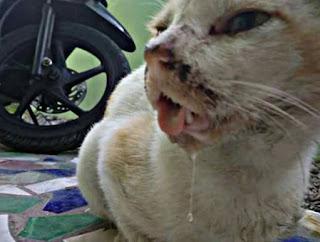 Penyakit Kucing Mulut Berlendir