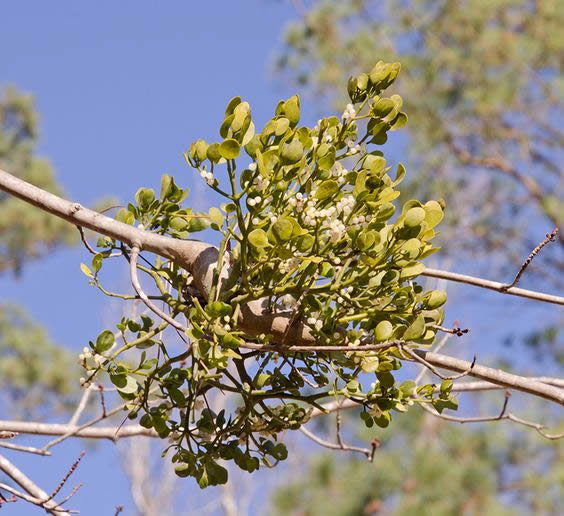 Mistletoe, an example of parasitism
