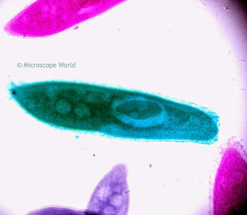 Paramecium under microscope at 400x