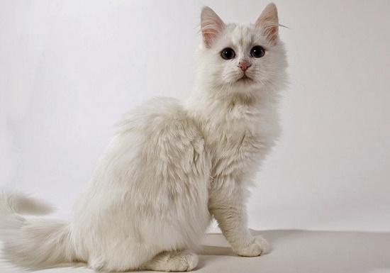 harga kucing anggora