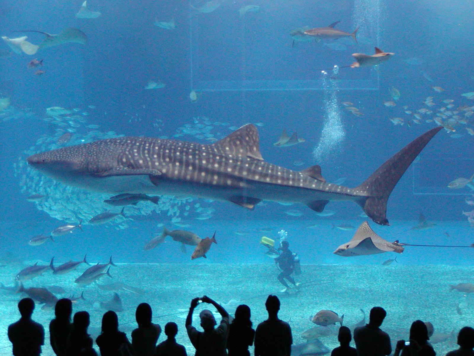 Plenty of Fish in the Sea: Whale Shark