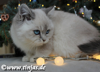Kitten blaue Augen