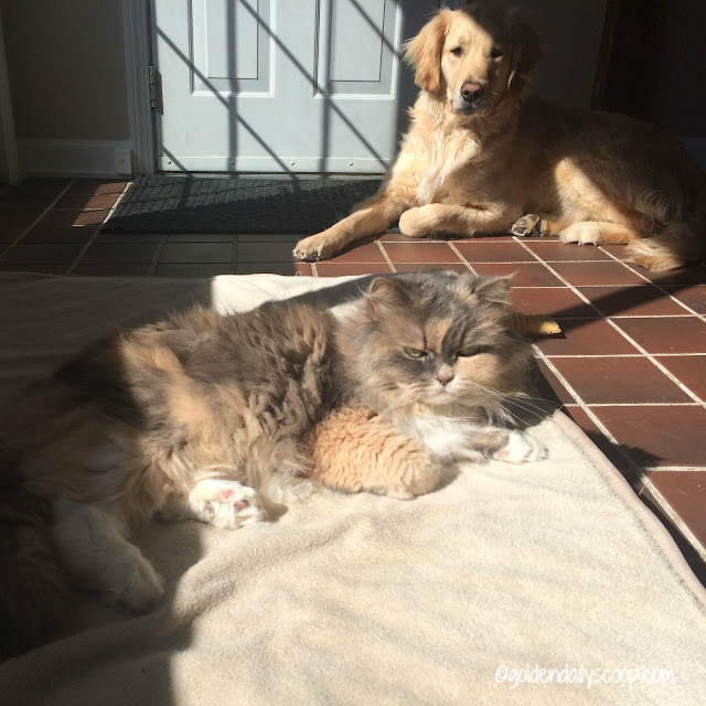 cat sleeping on dog's bed, golden retriever #wordlesswednesday