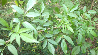Sambuscus nigra (elderberry) tree leaves new orleans louisiana