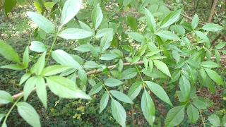 Sambuscus nigra (elderberry) tree leaves new orleans louisiana