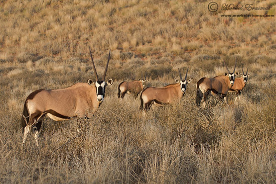 PhotoShare: Gemsbok Symmetry