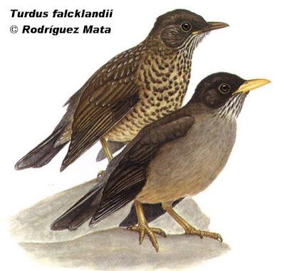 patagonian birds Austral Thrush
