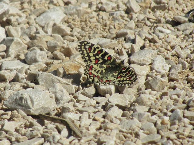 papillon-proserpine-calanques
