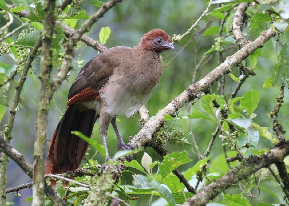 Rufous headed Chachalaca