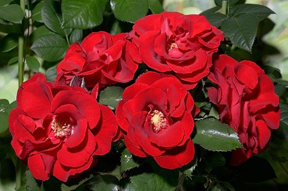 Roter Corsar rose сорт розы фото